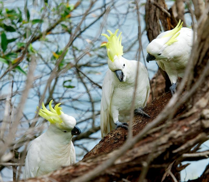 Sulphur-crested Cockatoo, Cacatua galleria,large white cockatoo popular in Australia and New Guinea,big white parrot in green blur royalty free stock photo