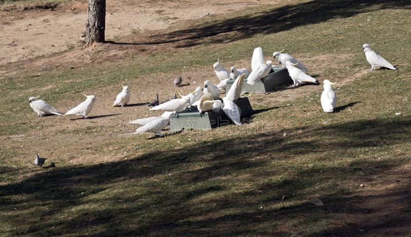 The sulphur crested cockatoos and pigeons eating from a feeding trough royalty free stock photo