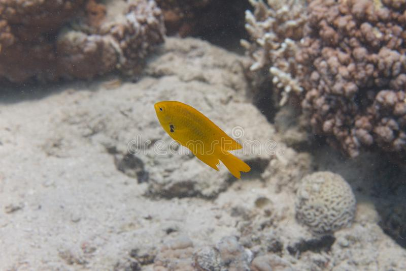 Sulphur Damsel on Coral Reef. In Red Sea off Dahab, Egypt royalty free stock photography