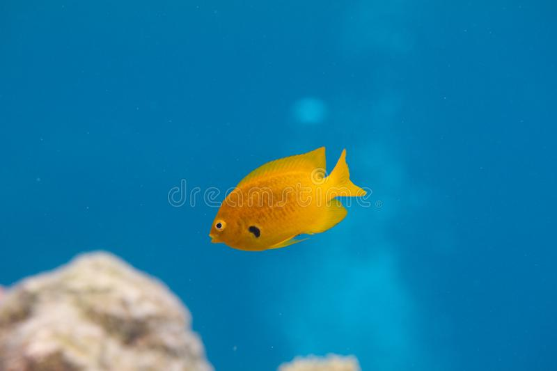 Sulphur Damsel in Red Sea. Sulphur Damsel on Coral Reef in Red Sea off Dahab, Egypt royalty free stock images