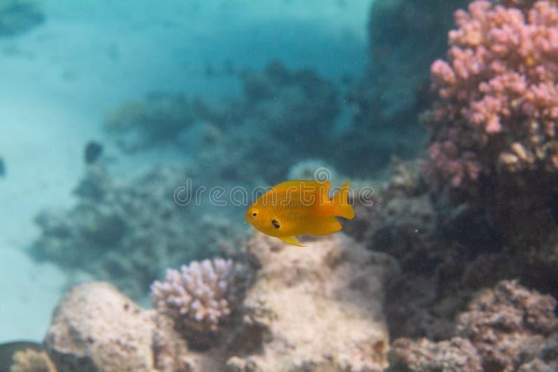 Sulphur Damsel in Red Sea. Sulphur Damsel on Coral Reef in Red Sea off Dahab, Egypt stock image