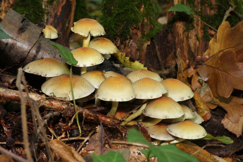 Sulphur tuft. Or clustered woodlover(Hypholoma fasciculare royalty free stock photos
