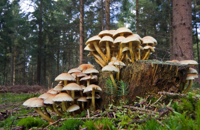 Sulphur Tuft. Also known as Clustered Woodlover (Hypholoma fascicularea), a poisonous mushroom, growing on a rotting treetrunk stock image