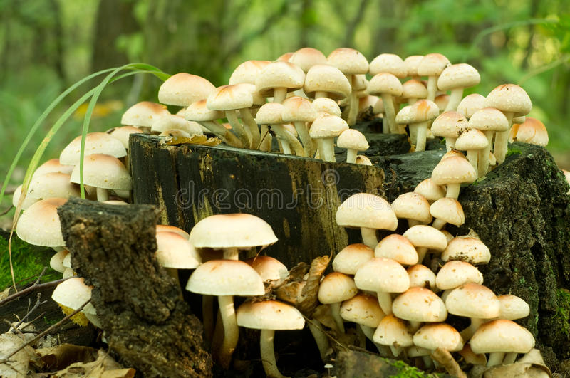 Sulphur Tuft fungus. (Hypholoma fasiculare) growing on an old mossy tree stump stock images