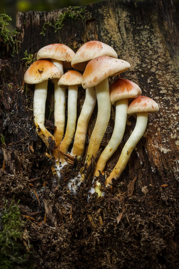 Download Sulphur Tuft Fungus Royalty Free Stock Photography - Image: 34384807