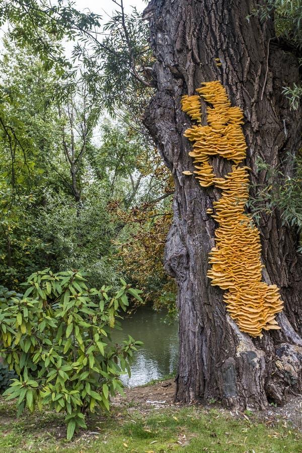 Sulphureus amarillo enorme de Laetiporus del hongo de soporte en un árbol foto de archivo libre de regalías