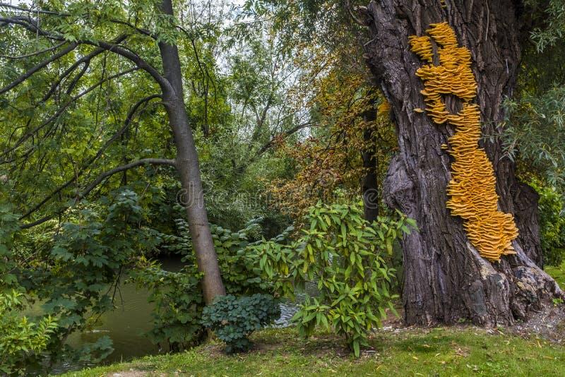 Sulphureus amarillo enorme de Laetiporus del hongo de soporte en un árbol imagen de archivo