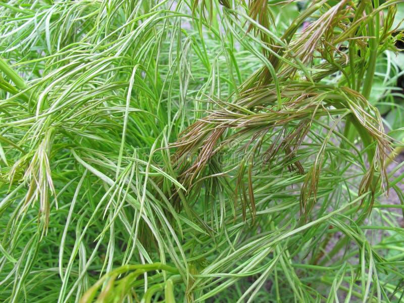 Sulphurweed, Peucedanum officinale stock photo