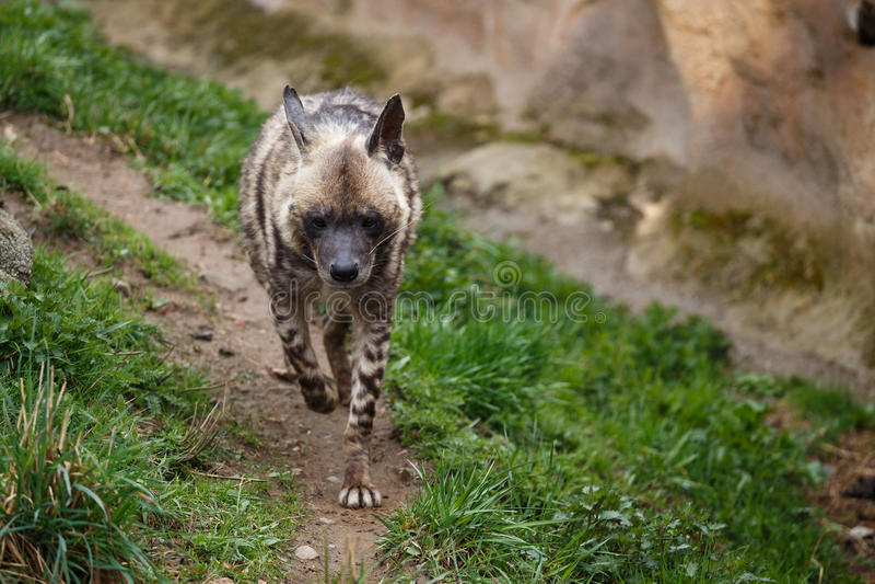 Sultana do hyaena de Hyaena da hiena listrada imagens de stock royalty free