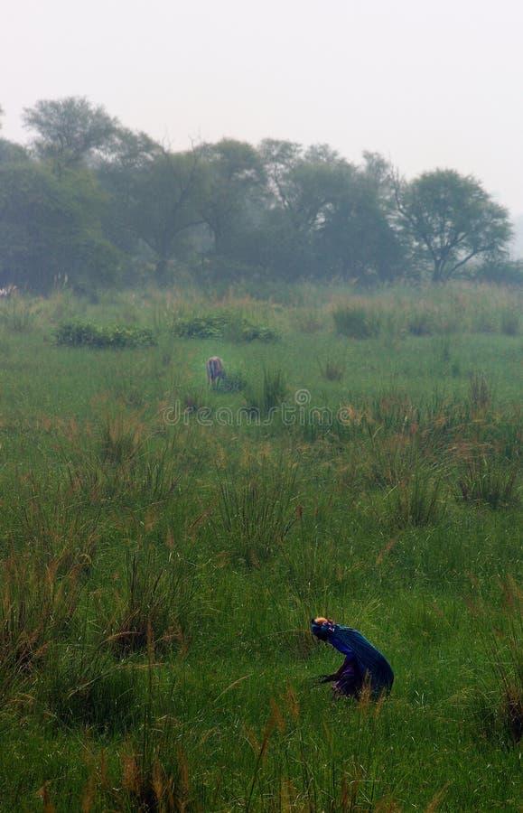 Sultanpur Bird Sanctuary (9/9). Indian farmers working on a field, Sultanpur Bird Sanctuary, Haryana, India stock photos