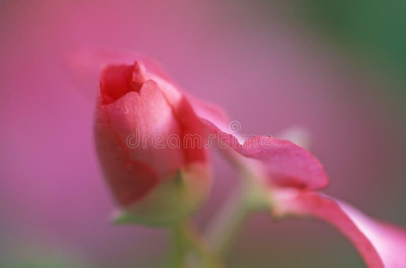 Sumário Cor-de-rosa Fotos de Stock