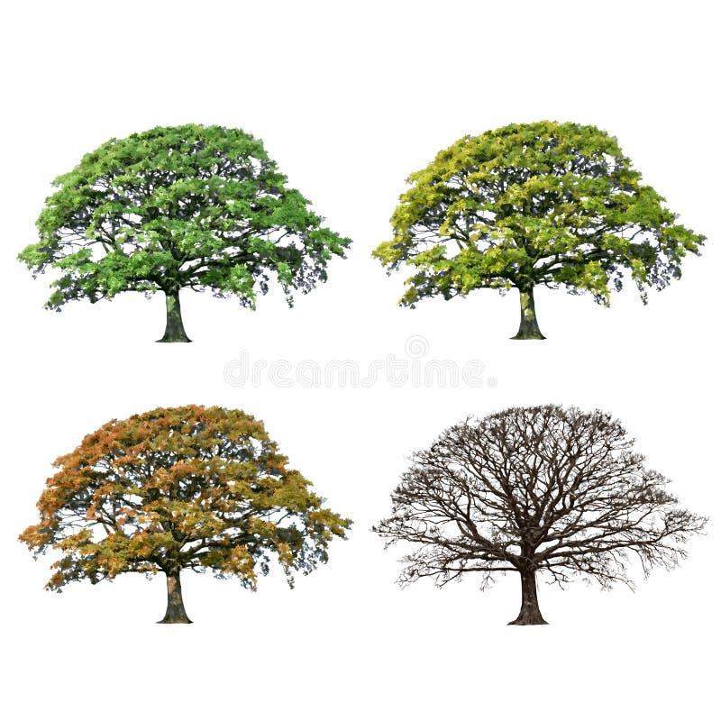 Sumário da árvore de carvalho quatro estações ilustração royalty free