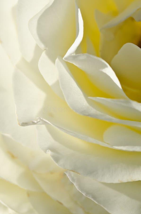 Sumário da natureza: Perdido nas dobras delicadas da Rosa branca delicada imagem de stock