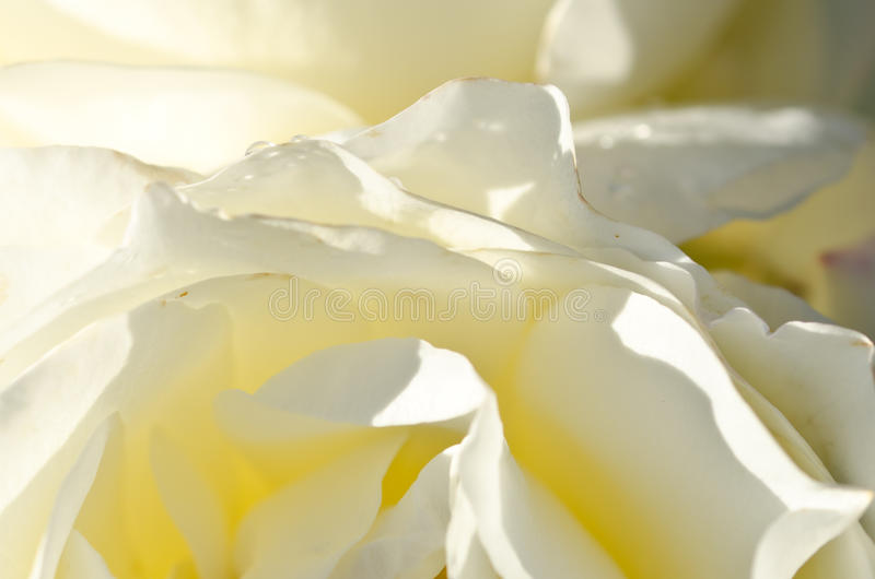 Sumário da natureza: Perdido nas dobras delicadas da Rosa branca delicada fotos de stock