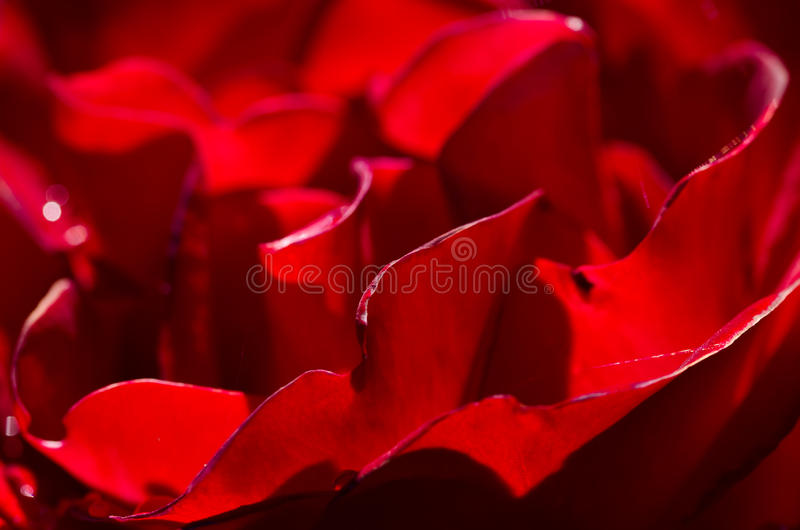 Sumário da natureza: Perdido nas dobras delicadas da Rosa delicada foto de stock