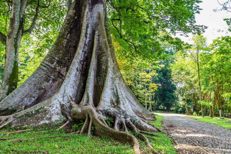 A sumaúma treen nos jardins botânicos Kebun Raya em Bogor, Java ocidental, fotos de stock