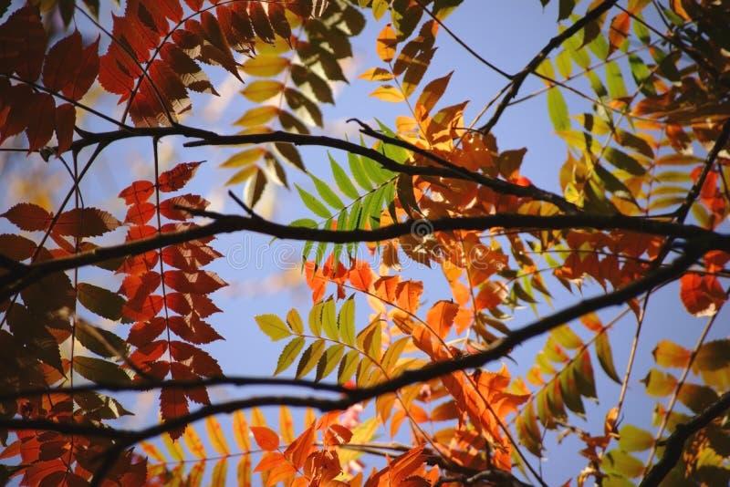 Sumac do staghorn das folhas de outono imagem de stock