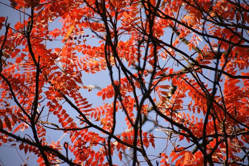 Sumac do staghorn das folhas de outono imagens de stock royalty free