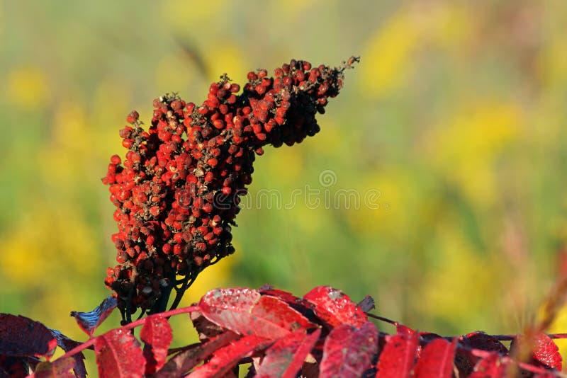 Sumac seeds royalty free stock images