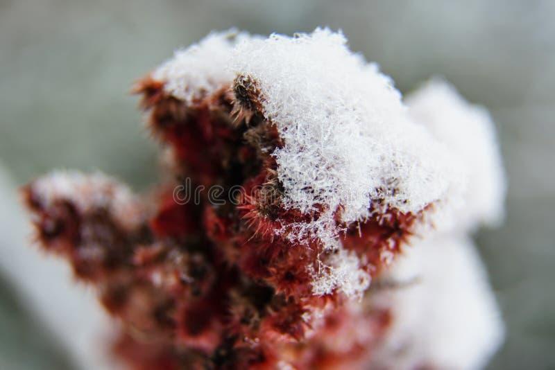 Sumaka pączek z śniegiem zdjęcia royalty free