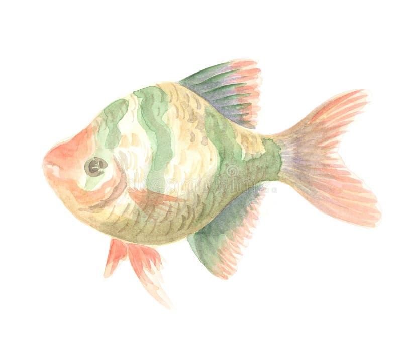 The Sumatra Barb. Sumatra Barb. Exotic decorative fish on a white background. Watercolor painting royalty free illustration