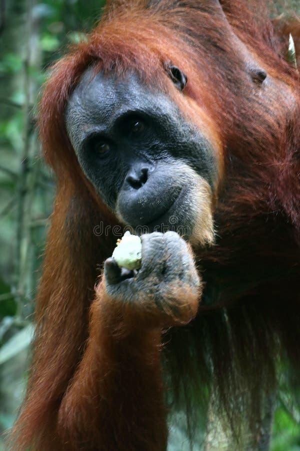 Sumatra Orangutan feeding stock photo