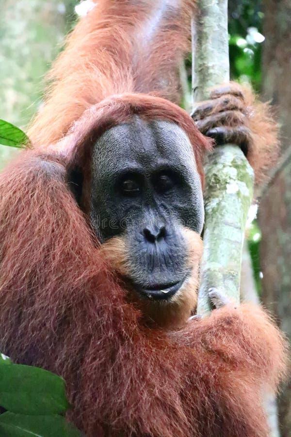 Sumatra Orangutan Male Portrait stock images
