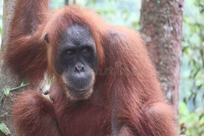 Sumatra Orangutan Portrait royalty free stock images
