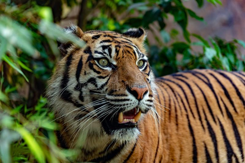 Sumatra tiger portrait close up while looking at you. On grass background stock photography