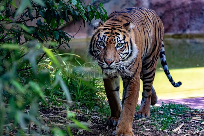 Sumatra tiger portrait close up while looking at you. On grass background royalty free stock photo