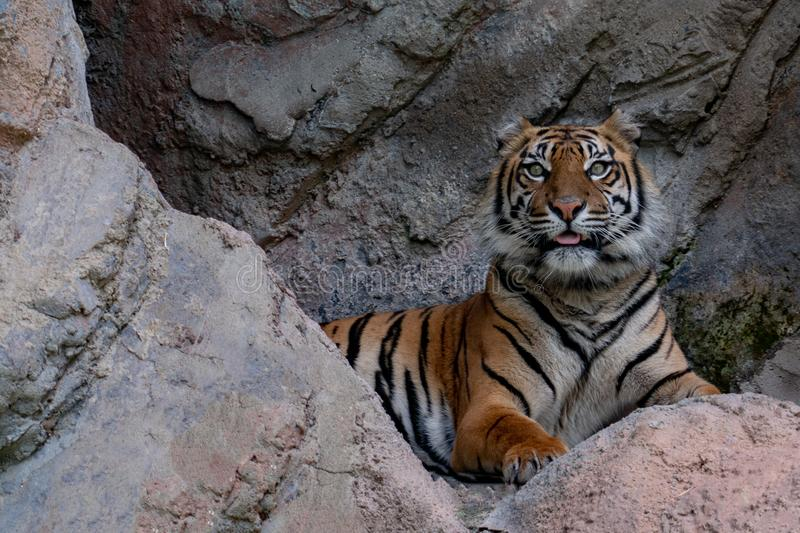 Sumatra tiger portrait close up while looking at you. On rocks background stock photos