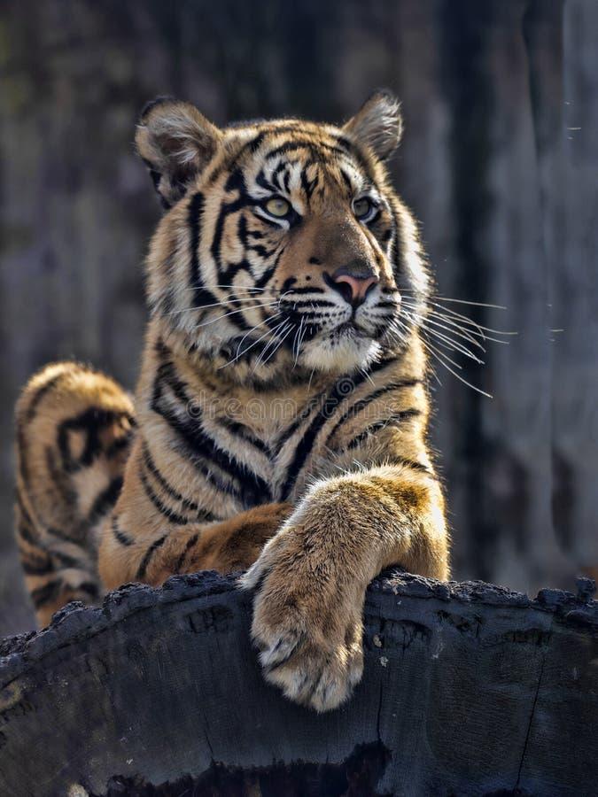 Sumatrae fêmeas novos de Sumatran Tiger Panthera tigris, encontrando-se no tronco e olhando ao redor foto de stock royalty free