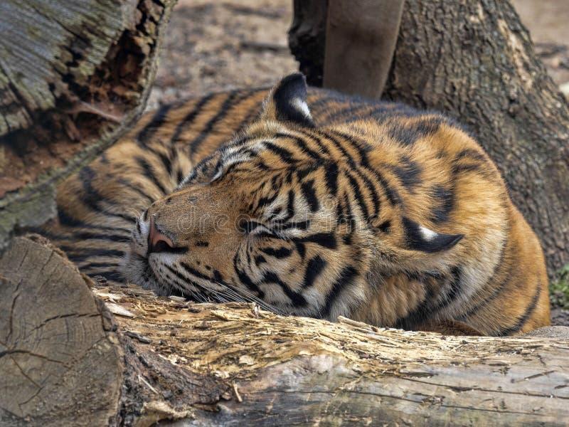 Sumatrae van Pantheratigris, Sumatran-Tijger ligt op een grote boomstam stock fotografie