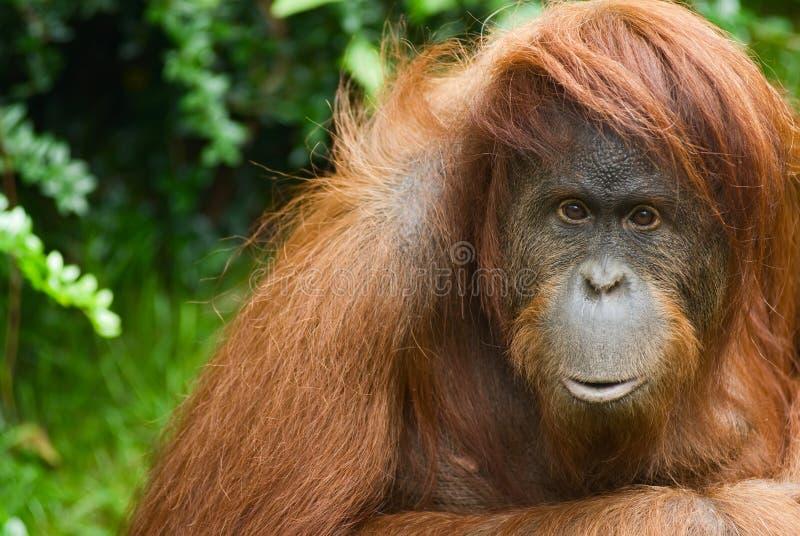 Sumatran Orang-Utan stockbilder