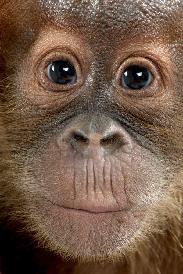 sumatran orangutan младенца близкое вверх стоковое изображение rf