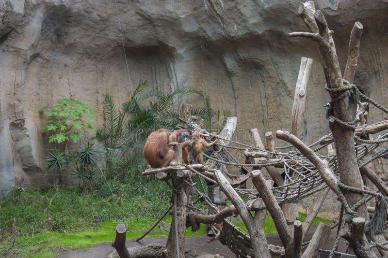 Sumatran orangutan bawić się zdjęcie stock