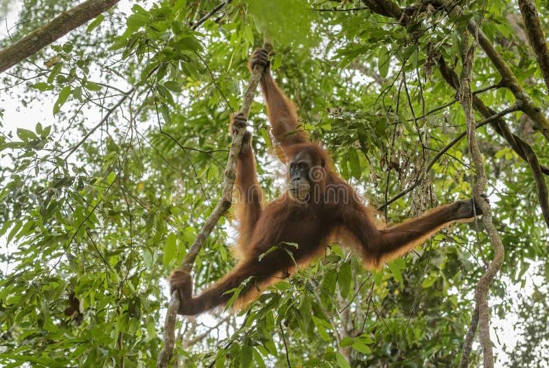 Sumatran orangutang - Pongoabelii arkivbild