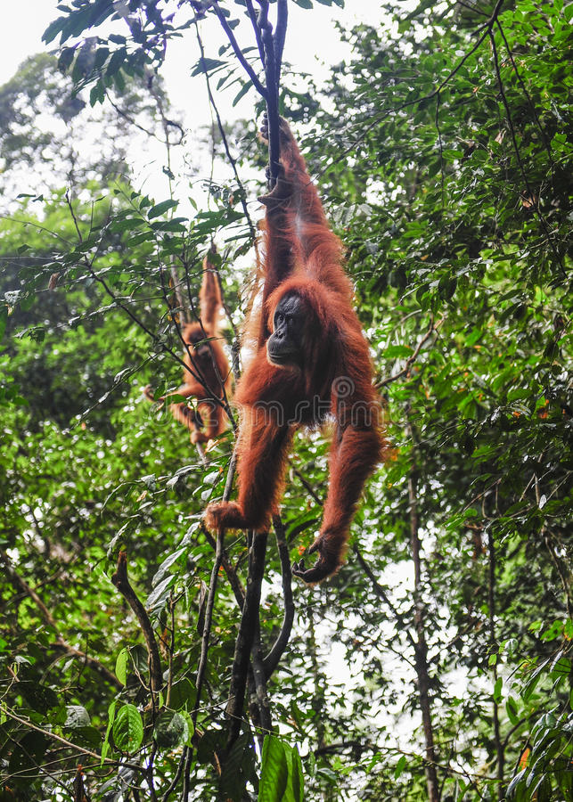 Sumatran orangutans obraz royalty free