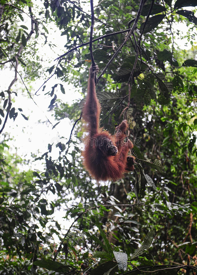 Sumatran orangutans zdjęcie royalty free