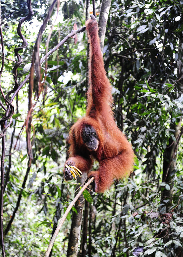 Sumatran orangutans zdjęcia stock