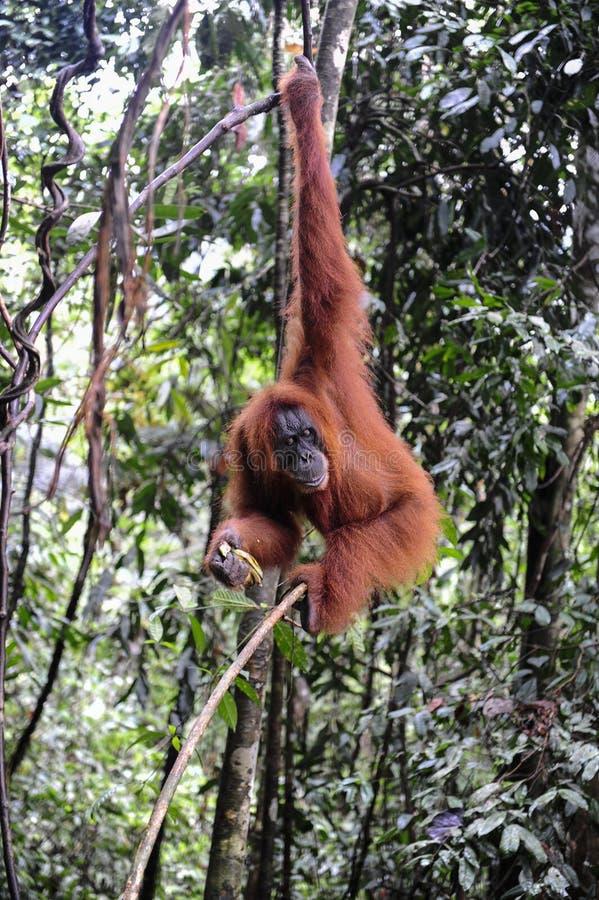 Sumatran orangutans fotografia stock