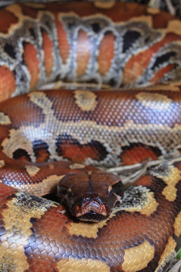 Sumatran röd blodpytonorm/pytonormbrongersmai royaltyfri fotografi