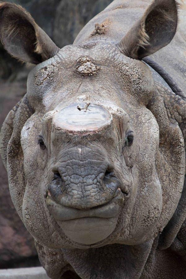 Sumatran Rhino stock photo