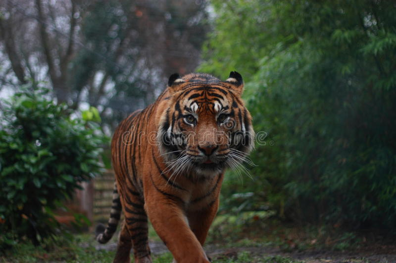 Download Sumatran Tiger Royalty Free Stock Photography - Image: 10848977