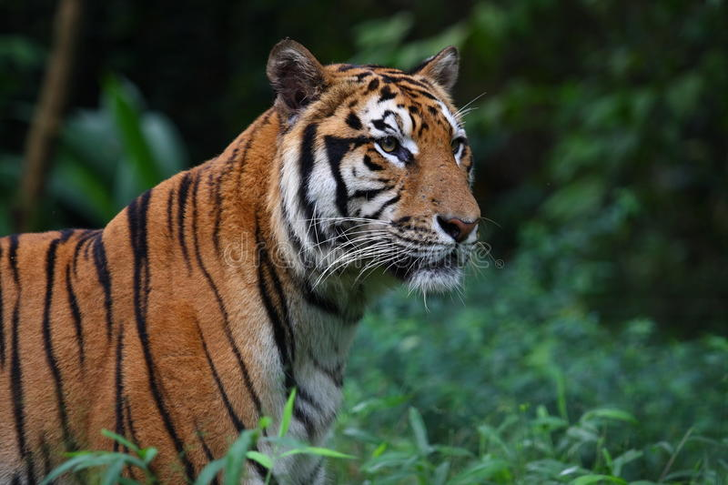 Sumatran Tiger. (Panthera tigris sumatrae) is a subspecies of tiger found on the Indonesian island of Sumatra. Recent genetic testing has revealed the presence stock image