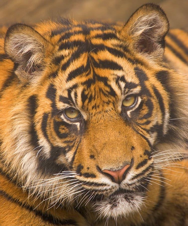 Sumatran Tiger Royalty Free Stock Images