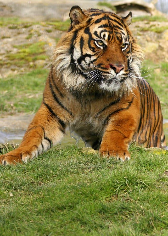 Sumatran Tiger stock photography