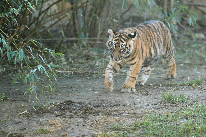 Download Sumatran tiger stock image. Image of juvenile, animal - 28351385