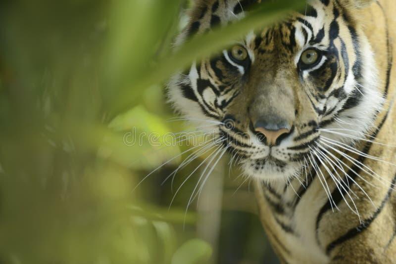 Sumatran tiger royaltyfria bilder
