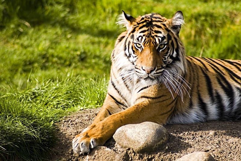 Sumatran Tiger. Lounging in the warm sun royalty free stock photos